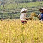 Rice harvest in Pu Luong Reserve, Vietnam - Récolte du Riz dans la reserve de Pu-luong au Vietnam