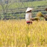 Rice harvest in Pu Luong Reserve, Vietnam - récolte de riz dans la réserve de Pu Luong , ietnam