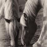 Pottok Horses